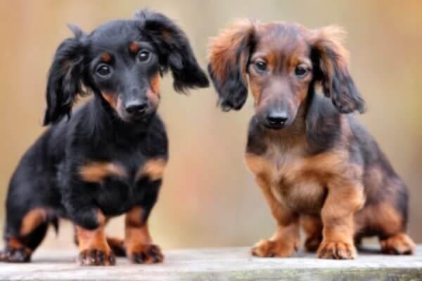 Tipos de Perros Salchicha