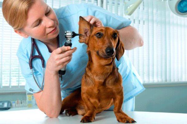 Alergias en los perros teckel