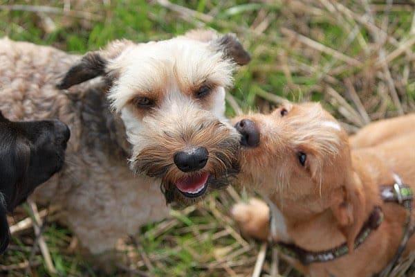 Cómo socializar a tu cachorro teckel