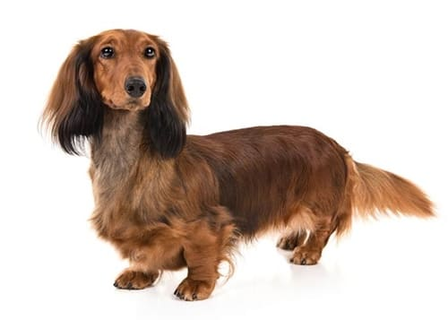 Teckel Standard de pelo largo